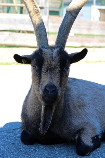 Billy goat goat animal, animals.