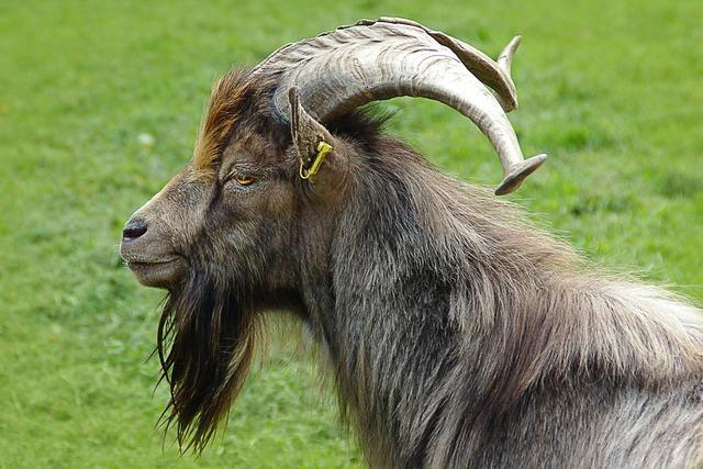 Billy goat goat buck portrait.