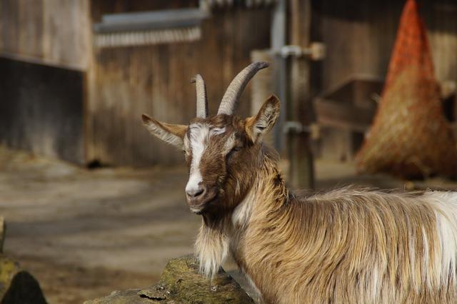 Billy goat goat male, animals.