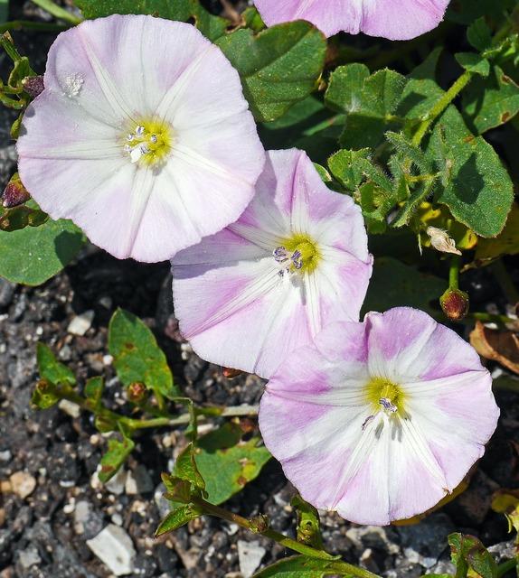 Bindweed flowers subspecies.