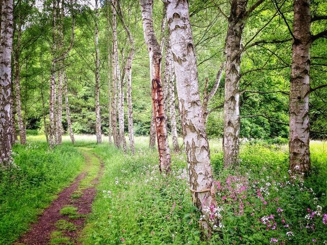 Birch forest summer, nature landscapes.