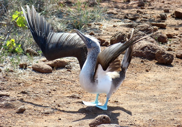 Bird blue-footed booby, animals.