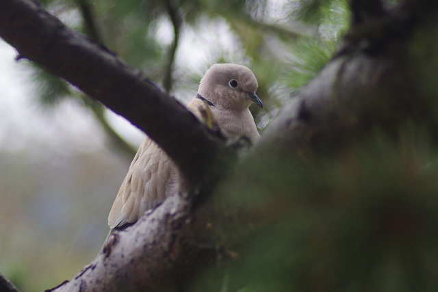 Bird dove collared, animals.