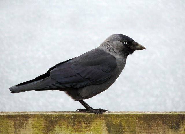 Bird jackdaw black, animals.