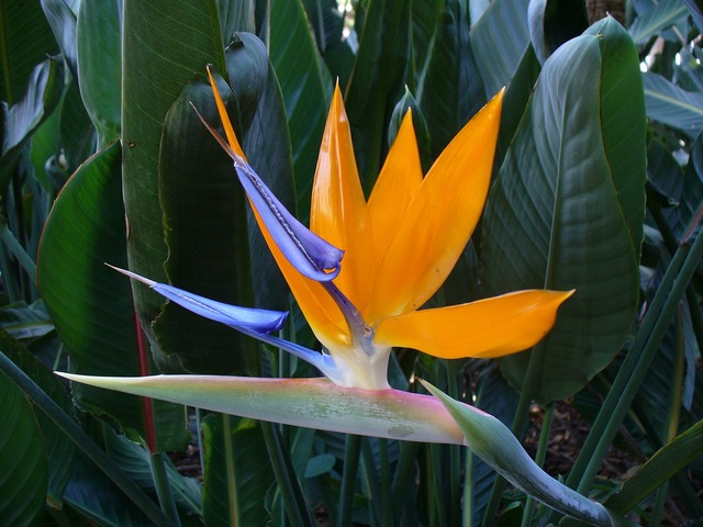Bird of paradise flower bloom colorful.