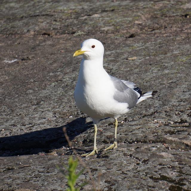 Bird ringed seagull, animals.