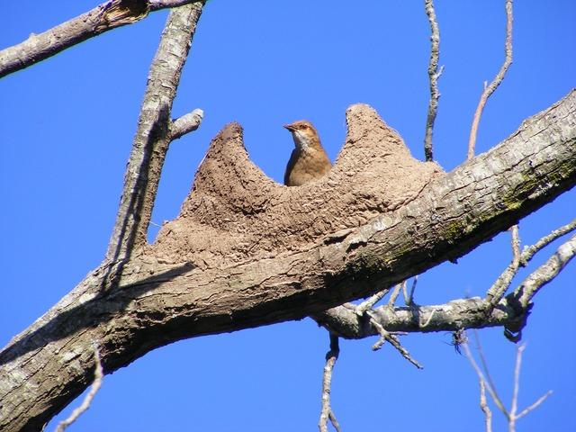 Bird rufous hornero nest, animals.