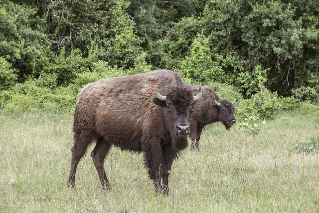 Bison buffalo livestock, animals.