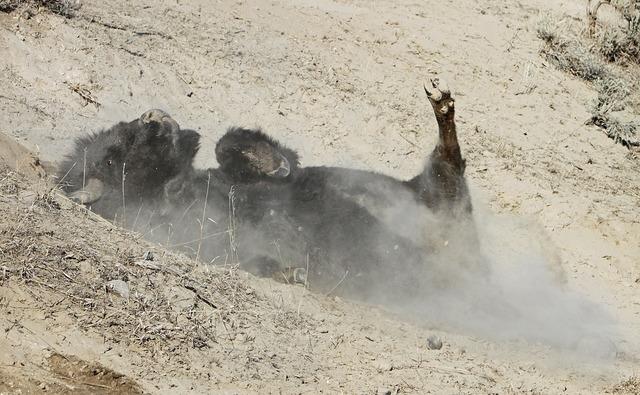 Bison buffalo wallowing.