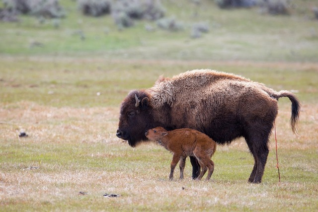 Bison cow calf.