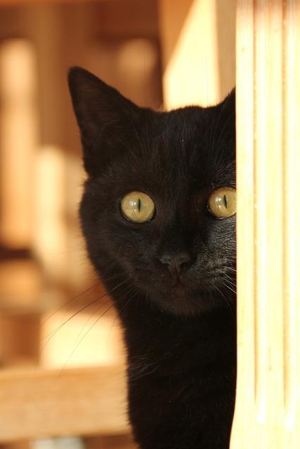 Black cat amber eyes cat, animals.