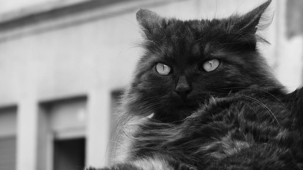 Black cat cat's eyes cat, animals.