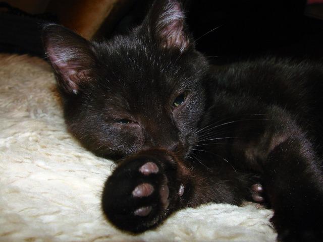 Black cat domestic short hair, animals.
