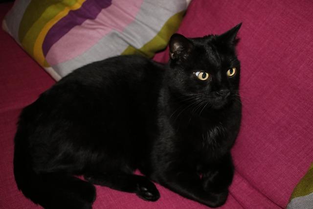 Black cat feline elegance, animals.