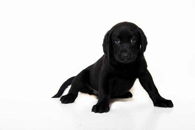 Black dog pup, animals.