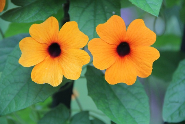 Black eyed susan thunbergia alata summer.
