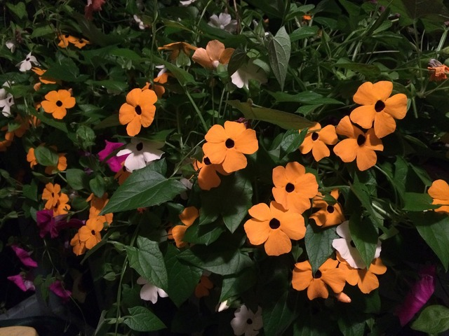 Black eyed susan vine orange flowers garden, nature landscapes.