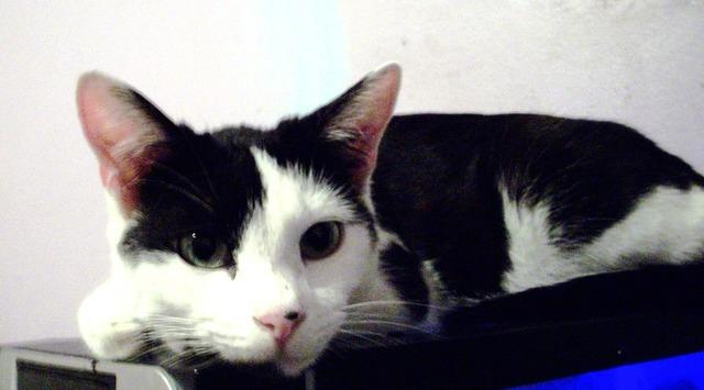 Black white cat, animals.