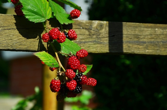Blackberries berries fruits, food drink.
