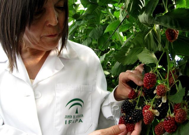 Blackberries fruit mora, food drink.