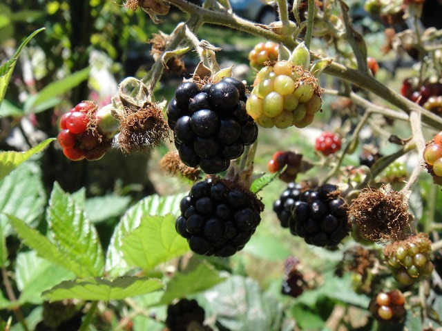Blackberries fruit wild, food drink.