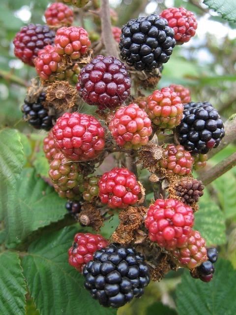 Blackberries unripe fruit, food drink.