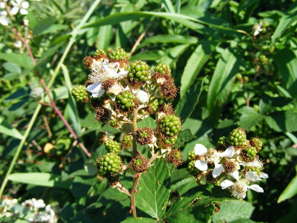 Blackberry flowers fruit, food drink.