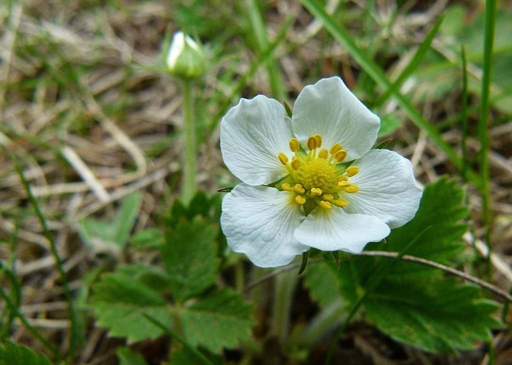 Blooming flower wild strawberry, nature landscapes.