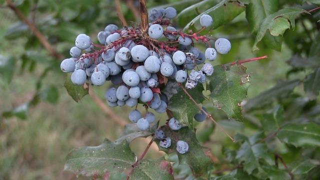 Blue berry wild plants langley.