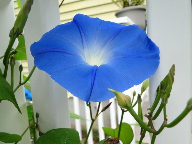 Blue flower morning glory, nature landscapes.