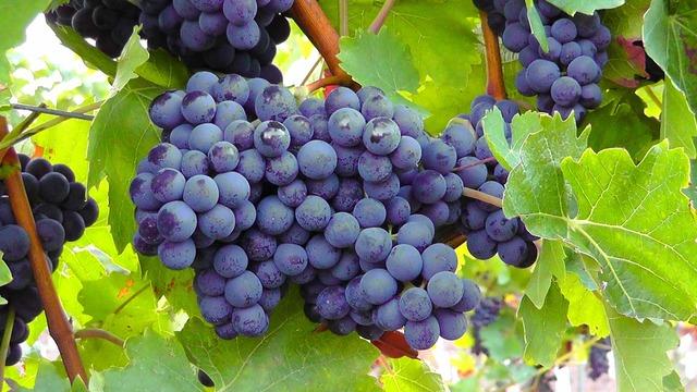 Blue grapes grapes fruits, food drink.