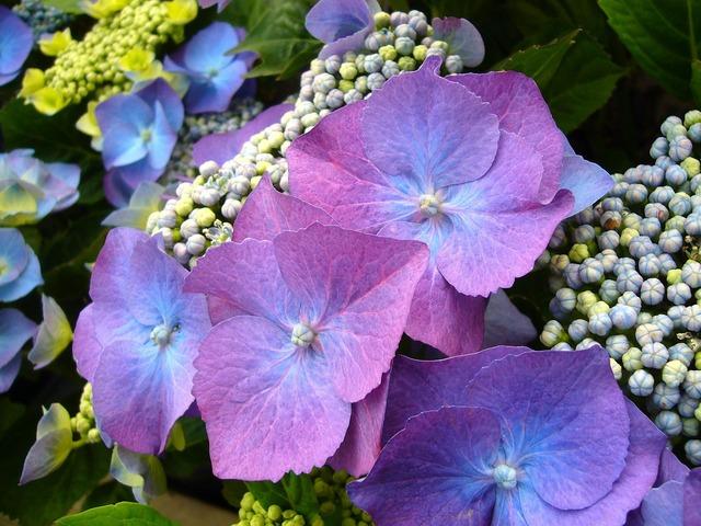 Blue hydrangea flowers floral.