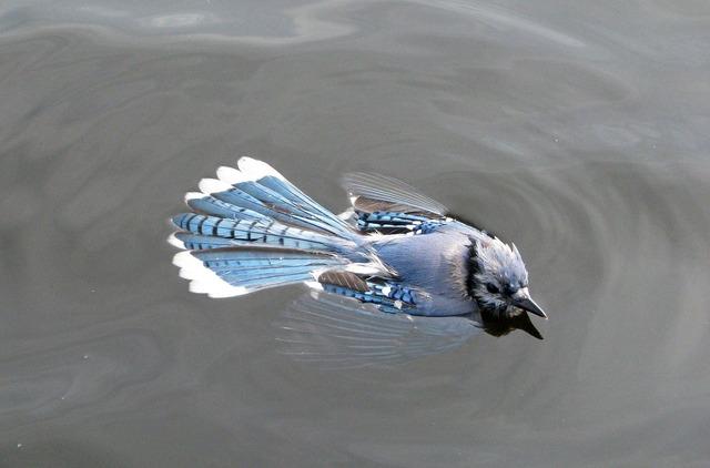 Blue jay cyanocitta cristata swimming.
