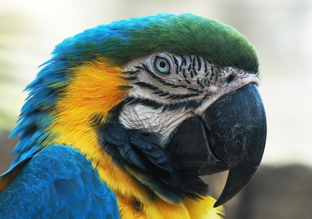 Blue macaw head face.