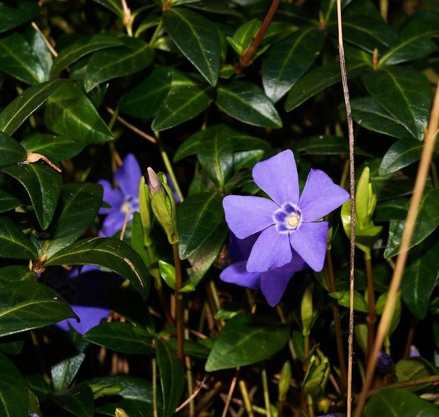 Blue periwinkle vinca minor, nature landscapes.