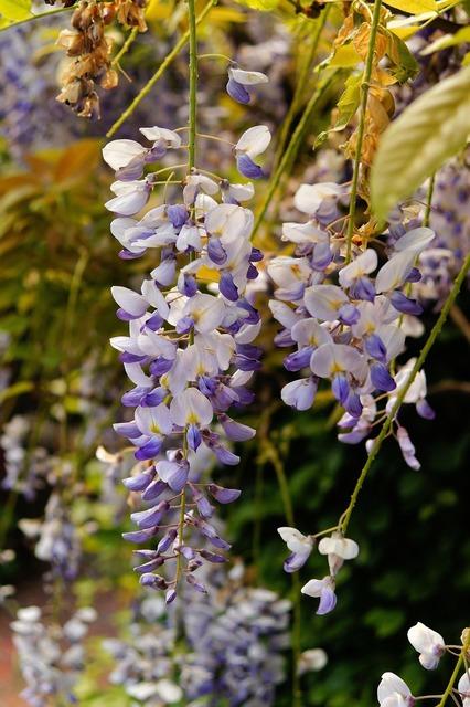 Blue rain flowers plant, nature landscapes.