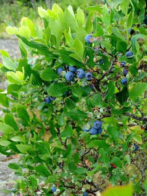 Blueberry bush shrub, food drink.