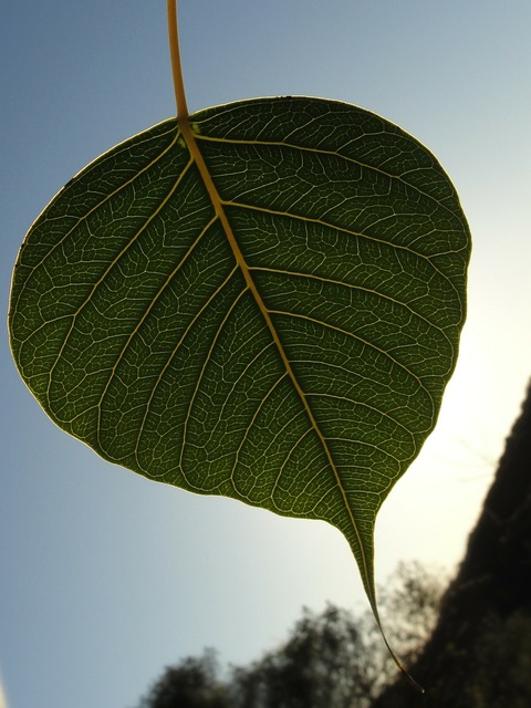 Bodhi leaf green leaf leaf, nature landscapes.