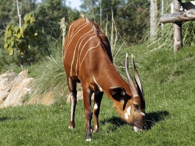 Bongo animal cattle, animals.