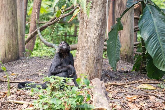 Bonobo mammal animal, animals.