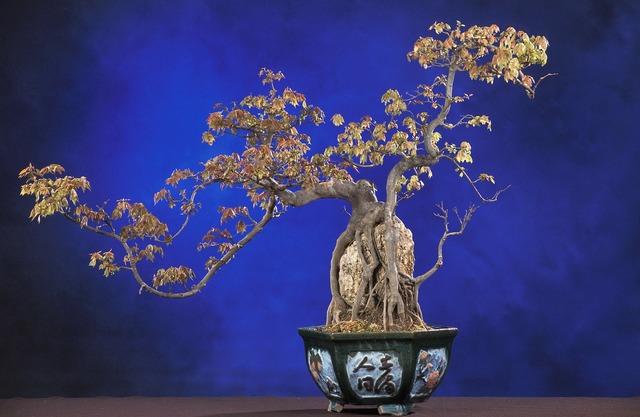 Bonsai acer buergerianum bonsai tree.