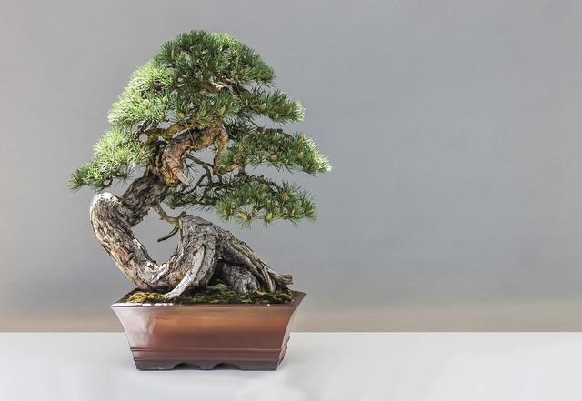 Bonsai pine plant, nature landscapes.