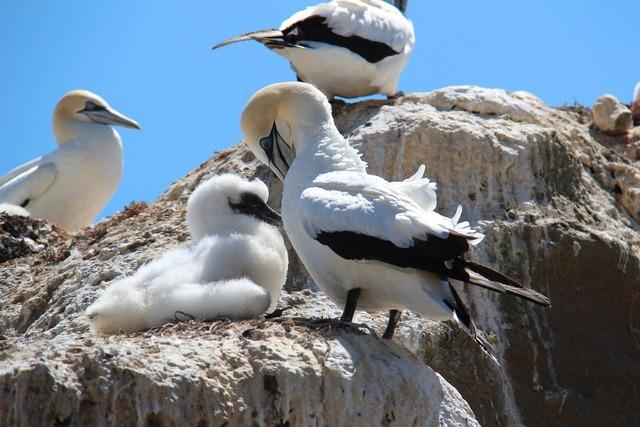 Boobies birds sulidae.