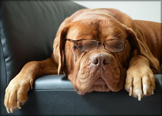 Bordeaux dog dog glasses, animals.