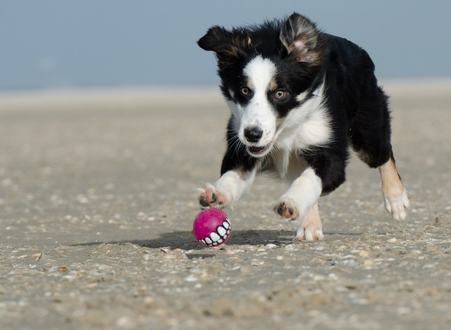 Border collie ball junkie ball hunting, travel vacation.