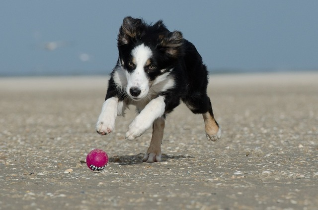 Border collie ball running dog, travel vacation.