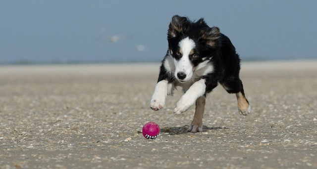 Border collie beach dog with ball, travel vacation.