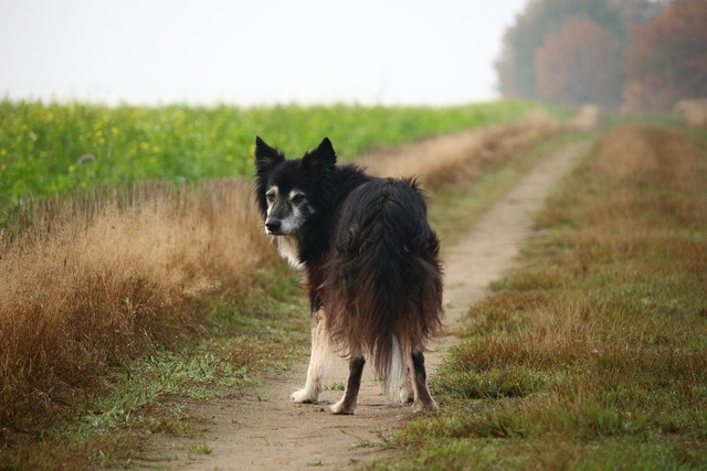 Border collie dog herding dog, animals.