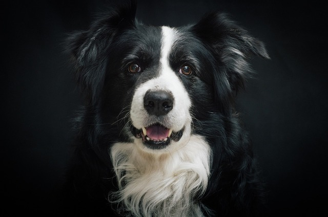 Border collie dog portrait, animals.