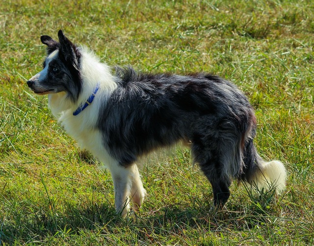 Border collie herding dog canine.
